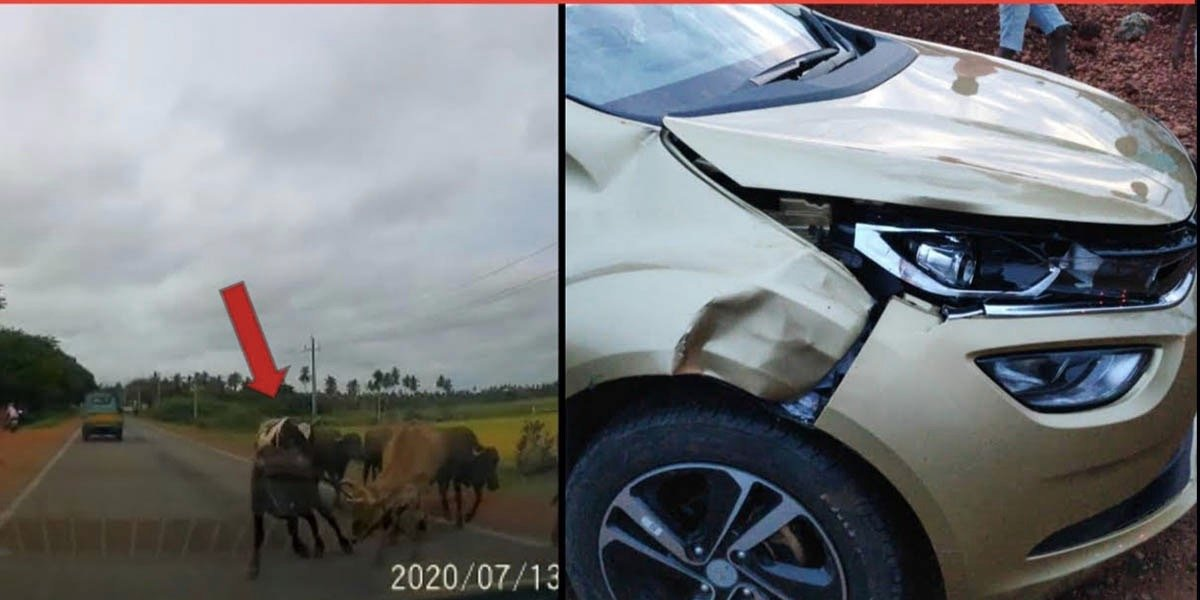 Accident of Tata Altroz Highlights Importance of Driving Carefully Around Cattle