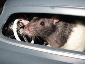 Tips On Protecting Your Car From Rats